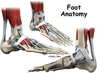 FOOT anatomy - sports podiatry