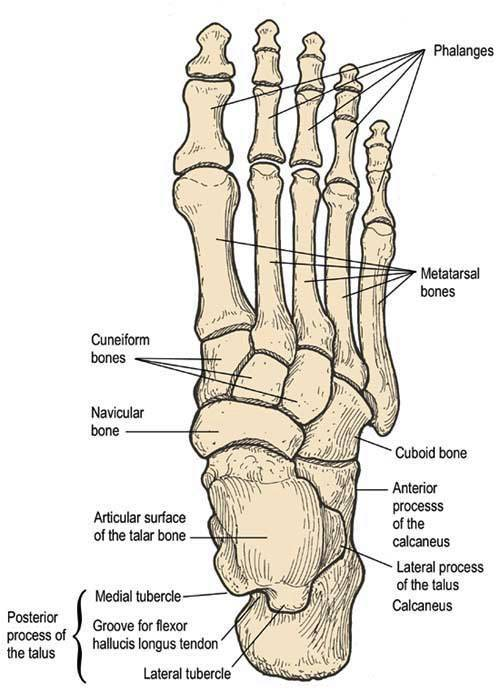 Foot Anatomy Sports Podiatry